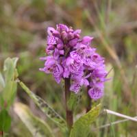 Orchidee, gevlekte Orchis